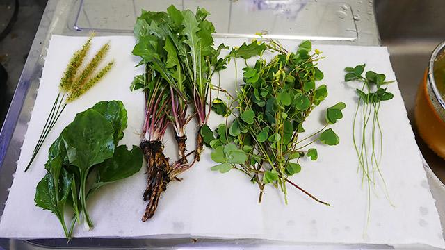5つの雑草を採ってきました!