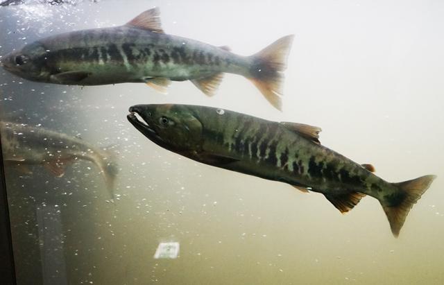 これが遡上時。本当に同じ魚かと思う程に違う。あいつは都会の色に染まっちまったみたいな感じか(違う)