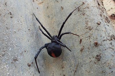 蓋の裏には案の定、立派な雌のセアカゴケグモ。なお、雄グモはとても小さく、一見するとセアカゴケグモだとわからないほど。