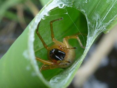日本産の有毒クモ。ハチに刺された程度には痛む。ちなみにこのクモは母親が我が子たちに自分の身体を食べさせることでも有名。