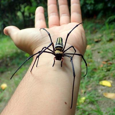 南西諸島に生息する日本最大のクモ、オオジョロウグモ。このクモも咬まれるとハチに刺されたように痛むと聞いていたが…