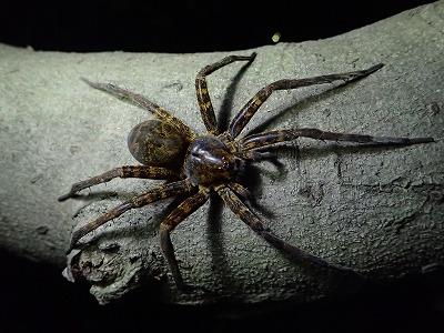 ついでにオオジョロウグモと並んで日本最大のクモとされるオキナワオオハシリグモにも咬まれてみた。