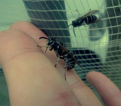 岐阜の串原で行われるへぼまつりをレポートした際にクロスズメバチに刺された。小さくともそこは一応スズメバチ。それなりに痛かった。