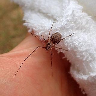 クロゴケグモを探している時に見つけたイトグモ。これも毒グモだが現地の人が「それはマジでヤバい」「咬まれると肉が腐る」「いいから早く殺せ」と騒いでいたので咬まれるのはやめておいた。