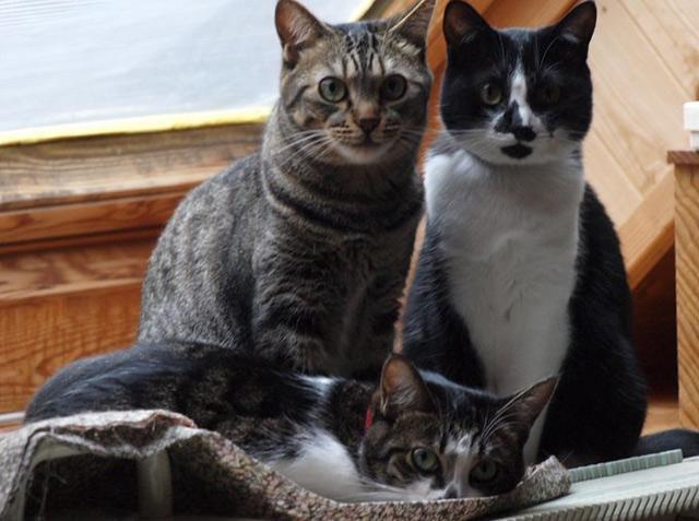 「猫三姉妹おやつの直後に夕食要求。『わずかなおやつでは腹は膨らまない』の声。今後のダイエットに暗雲。(ををもり)」これが新幹歌です。