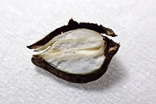 これが蕎麦の実の断面。硬い殻に覆われた白い部分が潰れて蕎麦粉になる。