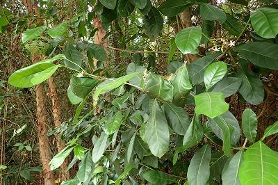 深緑の葉を茂らせる木の枝になにやら妙なものが…。