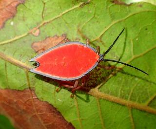 ツムギアリの巣のそばで、とても綺麗なカメムシの幼虫を見つけた。ケアンズは昆虫の楽園でもある。次回に訪れた際はツムギアリ以外の虫たちもじっくり観察したい。