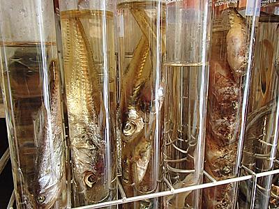 魚のグリセリン液漬け。標本界のトレンドです。高校の先生が考えた方法だそうです。