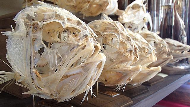 魚の頭の骨格標本。一般家庭にあるようなものでつくられていました。
