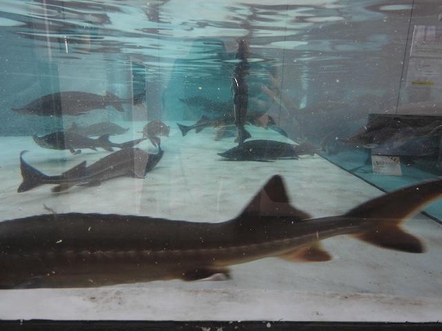 確かに、パッと見はサメそのもの。