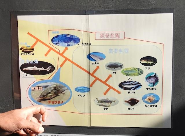 現生の硬骨魚類で「軟質亜綱」に属しているのはチョウザメのみ。