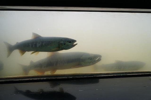 標津サーモン科学館は日本一のサケの水族館ですよ。
