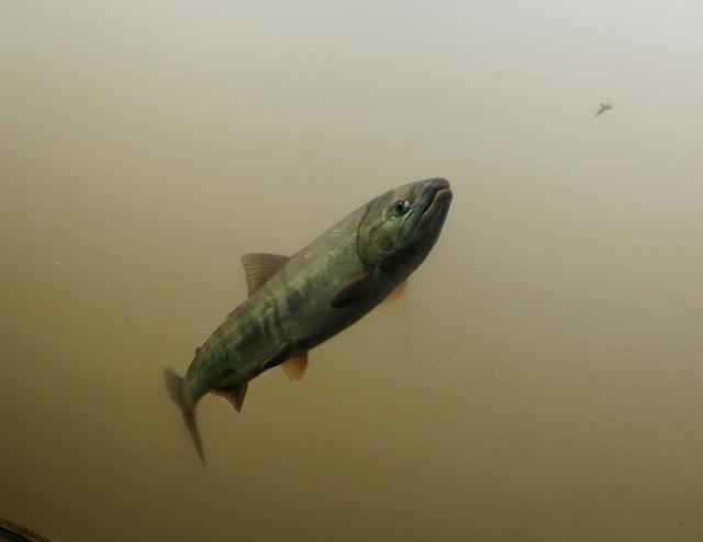 サケの水族館なんですけど……。
