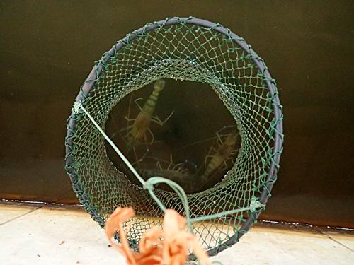 釣れたエビはビクに入れておく。ここに溜まっていくのがうれしいのよ。