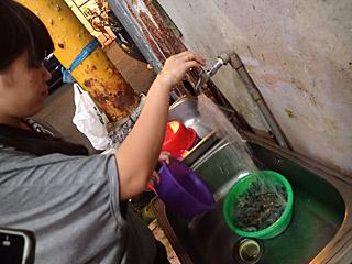 まず水道の水とエビを洗面器に入れる。