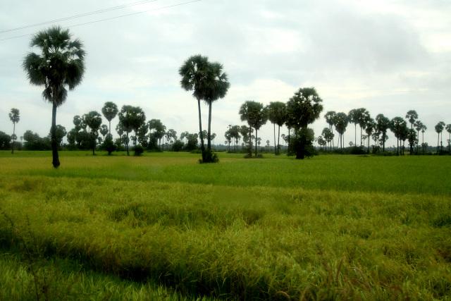 シェムリアップを出ると、すぐに水田にヤシの木が連なる景色となった。ガイドさんいわく、カンボジアの原風景なのだそうだ
