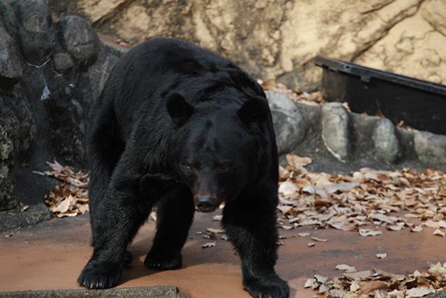 リアル熊は怖い。