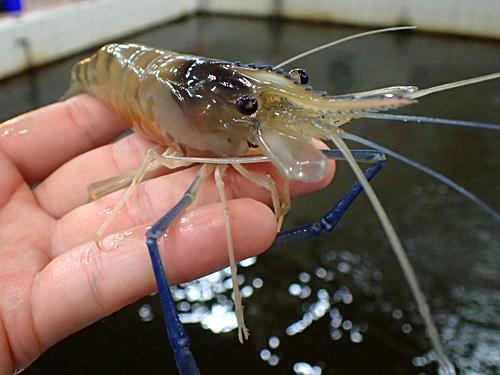 これがタイや台湾の釣り堀で人気のオニテナガエビ。