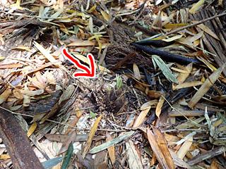 収穫できるのは地面からちょこっと顔を出したくらいのタイミングまで。ベテランは足の裏の感覚で、まだ地中にあるタケノコを探し当てるとか。