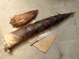 食用サイズのタケノコと、食用不適切サイズのタケノコ。本当に食えるのかこれ。