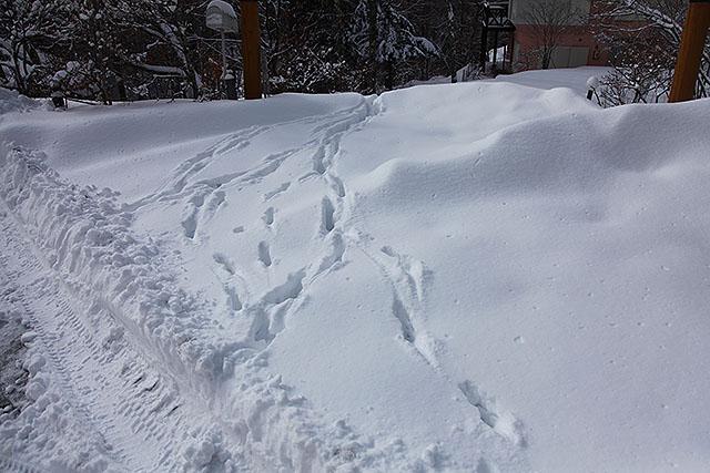三頭ほどの鹿の足跡が別荘の方に続いていた。