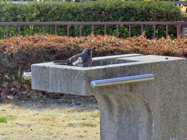 角形で鳥が水を飲んでいた