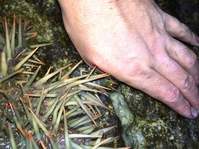 海水浴やダイビングの際に岩に手を置いた際、陰に隠れていたオニヒトデにプスリとやられることが多いようだ。沖縄の海には他にもいろいろと危険な生物が潜んでいるので、くれぐれも気をつけよう。