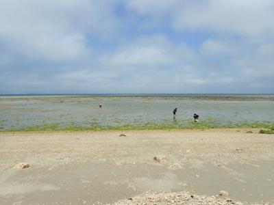 その珍現象を観察するにはこうした遠浅の干潟(沖縄の方言でイノーという)などが適している