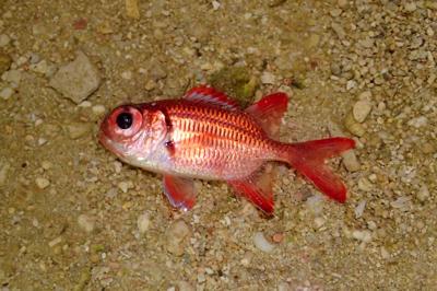 イットウダイ科の魚。