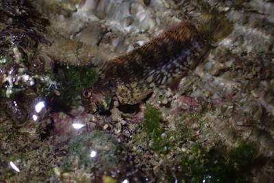 カエルウオも浅瀬に横たわる。