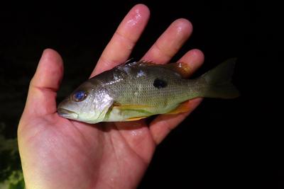 かわいそうに、こちらは完全に絶命している。イッテンフエダイの幼魚だった。