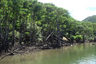 オヒルギやメヒルギの茂るマングローブ林へ。真水と海水が入り混じる汽水域なので、魚類層は独特。どんな魚たちが行き倒れているのだろう。