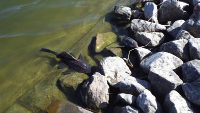 熱帯原産の魚たちが死屍累々に。
