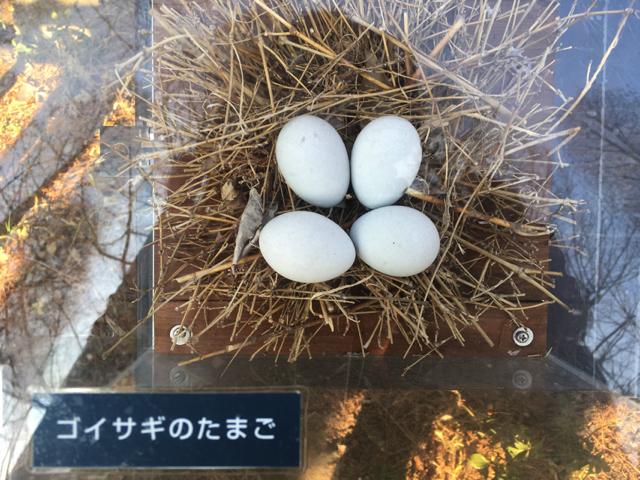 動物以外もとってみることにした。これはゴイサギのたまごだが