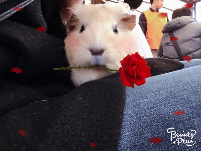 で き た! バラをくわえるモルモットの完成だ。真顔でバラをくわ える小動物のギャップよ。なぜ真顔なんだ。なぜバラをくわえてい る。かわいい。これは今日一番のかわいいがでたのではないでしょ うか