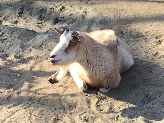 なんだかヤギも顔認識ができそう
