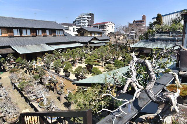 春花園の庭にはずらりと盆栽が並んでいる。東京にいる感じがしない京都のような古都にいる気分になってくる。