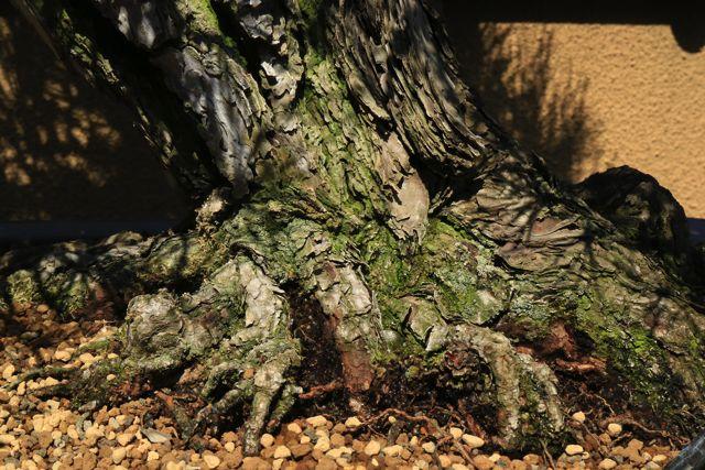 根っこの貼り方で歳月が感じられる。長い年月をかけたものは、根が土を覆っていて生命力を感じる。