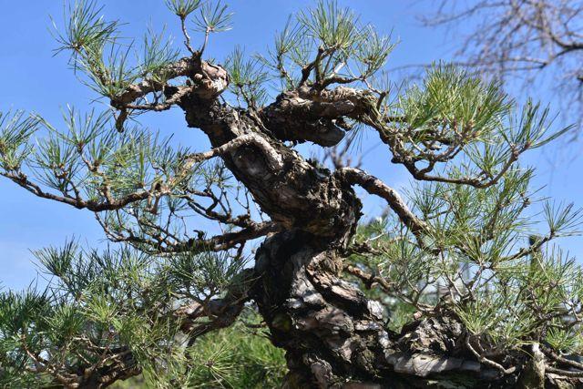 下から盆栽を見上げると幹に迫力を感じる。大木みたいだ。