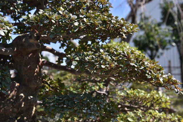 枝のつきかたで美しさがまったく変わる。重なっていたり、ムダな木があったりすると一気に美しくなくなるらしい。