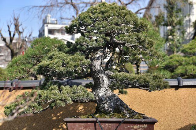 こちらがどれをとっても最高といえる盆栽の一つ。