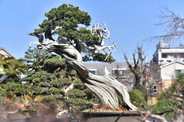 白い部分は幹が枯れていてジャリと呼ぶ。雷があたったり、動物にひっかかったり、落石で枯れたのか?などを色々と想像が働く。
