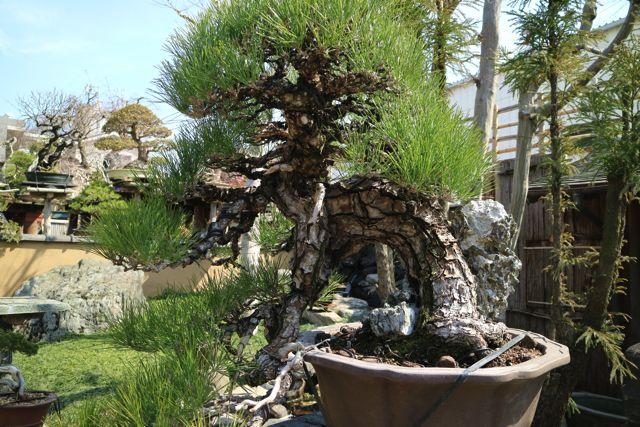 鉢からこぼれるこの形は懸崖(けんがい)と呼び、崖際に生える木の厳しさを表している。ナナメの崖に生えて、風に煽られているみたいだ。