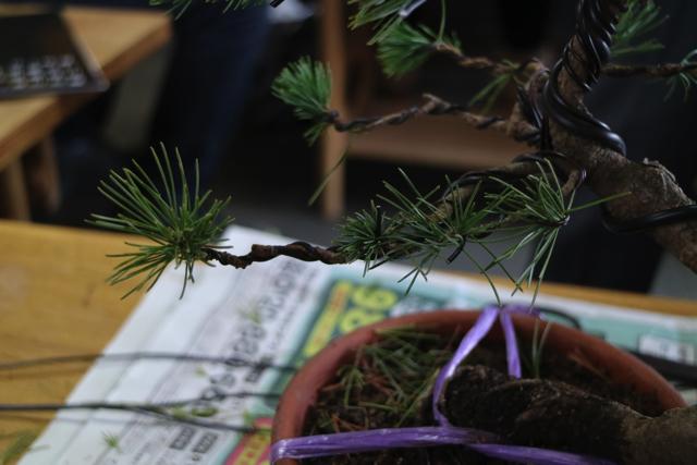 まずは針金でグルグル巻にする。少ない針金で行えると木に負担も少なくて良い。