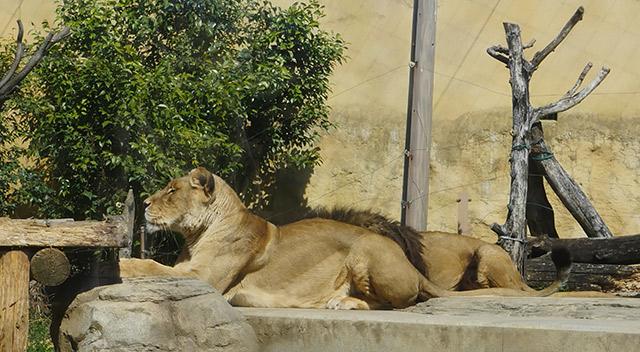 ライオンはこの色