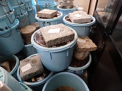 漬け始めの樽。この周辺は結構生臭い。