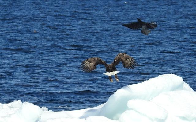 流氷の上でハイテンションでカラスを追うオジロワシ。豊穣なればこそ。