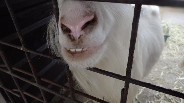 歯がよく見えるヤギと、そうじゃないのがいる