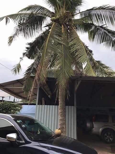 ヤシの木の下に停められた車と、落下したココナッツ。